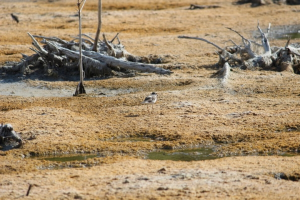 Semipalmated plover Stat 6 072112 013.jpg