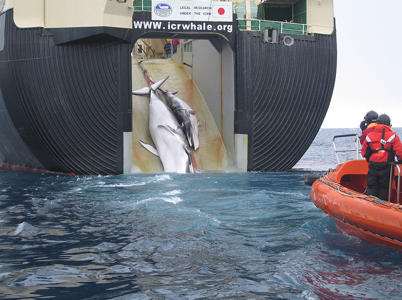 U.N. Court Ends Japanese Whaling in the Antarctic