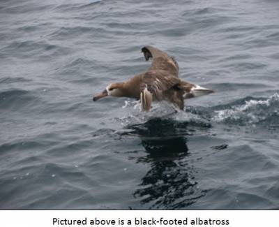 b2ap3_thumbnail_Black-footed-albatross.JPG