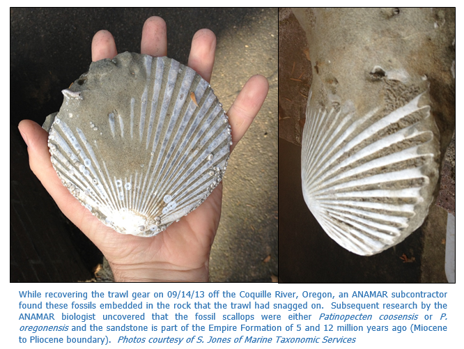 Fossil Scallops Coquille Pic1